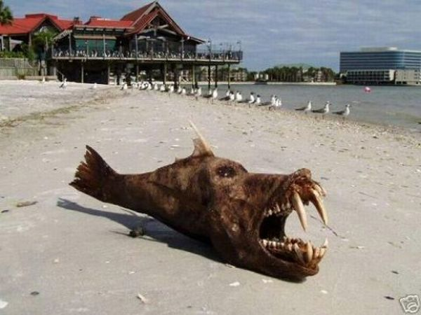 Freaky devil fish (5 pics)