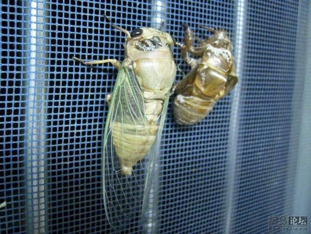 The transformation of a cicada (10 pics + 1 gif)