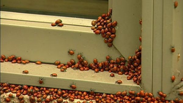 Huge swarms of ladybirds attack Colorado (29 pics + 1 video)