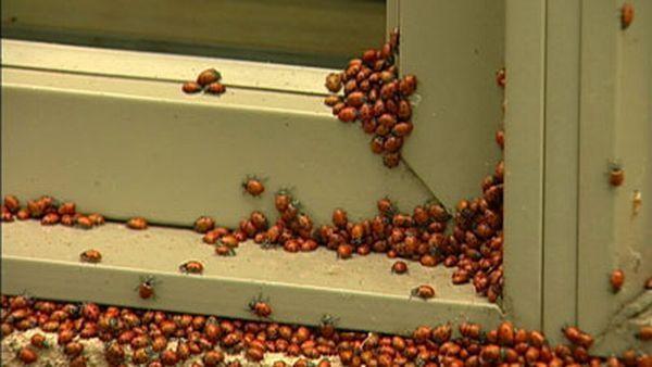 Huge swarms of ladybirds attack Colorado (29 pics + 1 video)