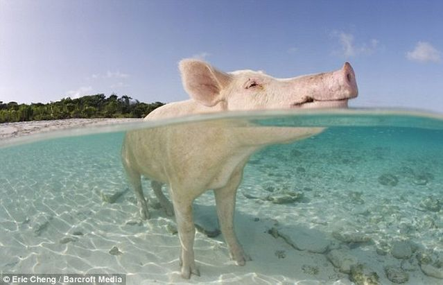 Swimming pigs (18 pics + 1 video)