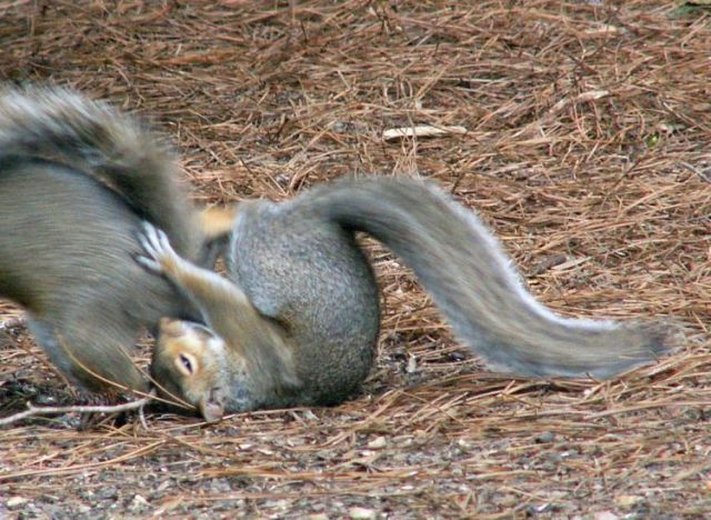 Fighting squirrels (20 pics + 2 videos)