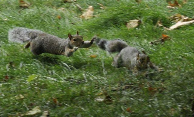 Fighting squirrels (20 pics + 2 videos)