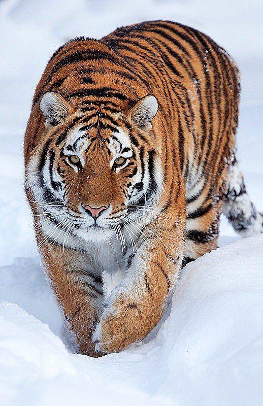 Cute big cats (50 pics)