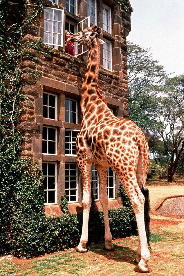 Cafe for a giraffe (3 pics)