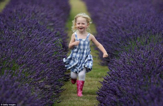 Lavender fields like in fairy tales (13 pics)