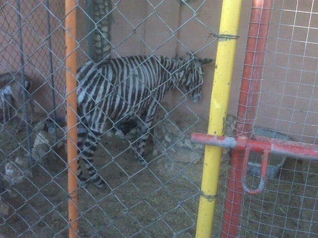 The sad story of one zebra and a pig (4 pics)