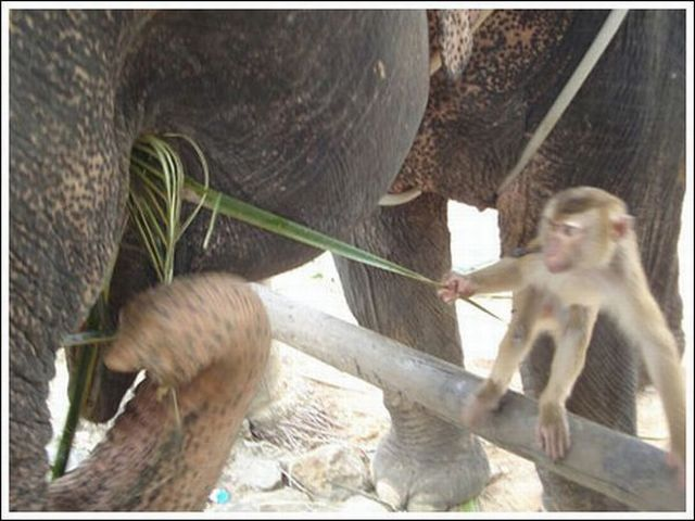 Monkey and elephant are good buds ;) (7 pics)