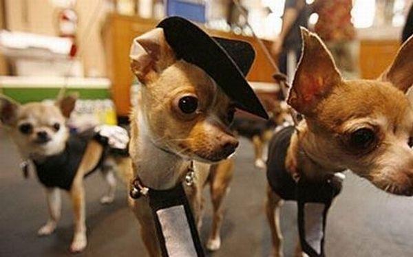 Pet weddings (23 pics)