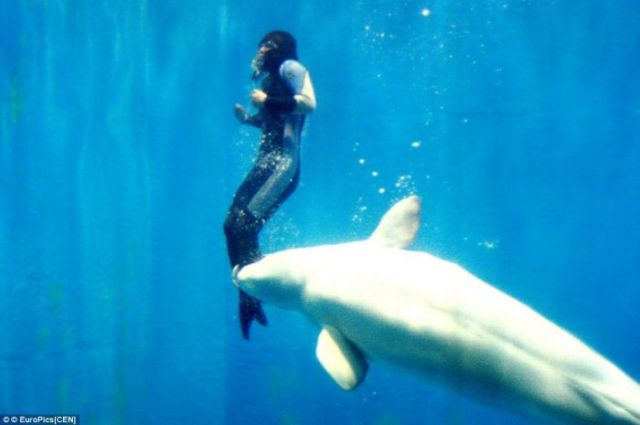 Beluga whale saved the life of a diver (3 pics)
