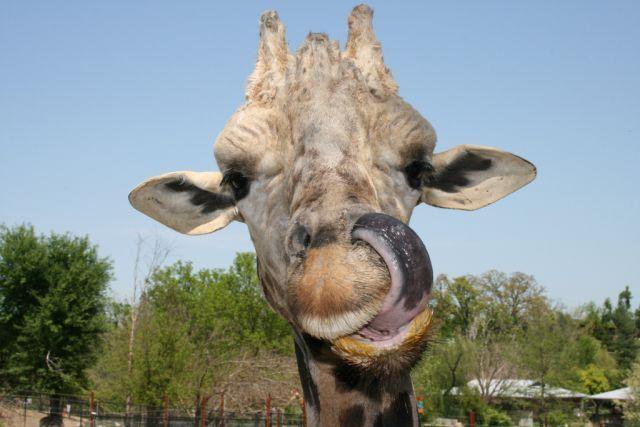 Funny giraffes 39 pics picture 8 - Girafe rigolote ...