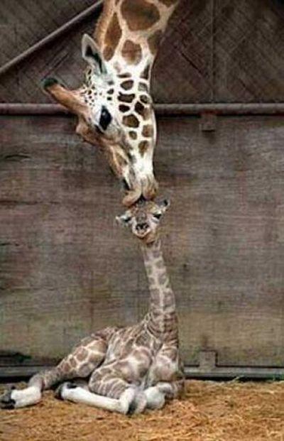 Funny Giraffes  Pics