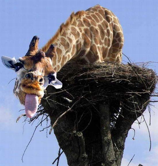 Funny giraffes 39 pics - Girafe rigolote ...