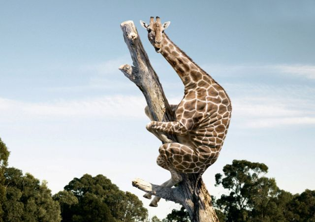 Nothing to see here. Just a giraffe climbing a tree. Move along.