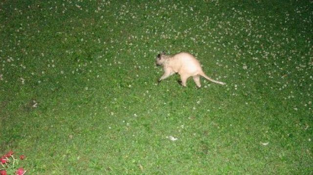 Hairless racoon looks strange (6 pics + 1 video)