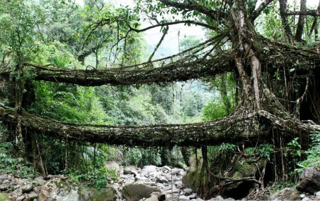 The living bridges (8 pics + 1 video)