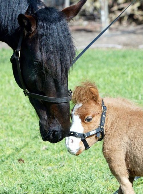 Koda, a dwarf horse (12 pics)