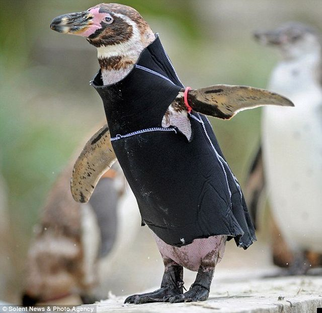 Wetsuit for a bald penguin (7 pics)