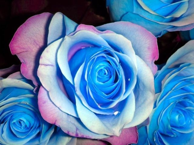 353bf53ac Blue roses. Very beautiful pictures (24 pics) - Izismile.com