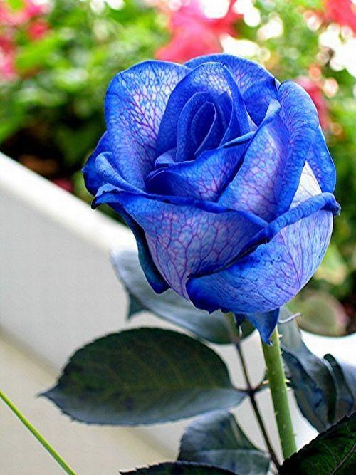 Blue roses. Very beautiful pictures (24 pics) - Izismile.com - photo#3