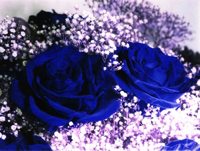 blue roses very beautiful pictures 24 pics picture. Black Bedroom Furniture Sets. Home Design Ideas