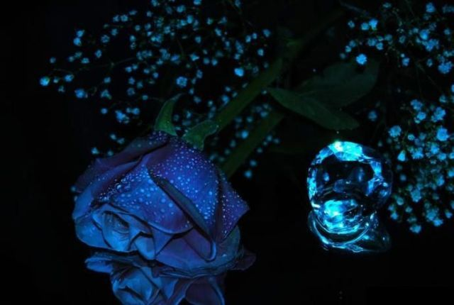 Blue Roses Very Beautiful Pictures 24 Pics Picture