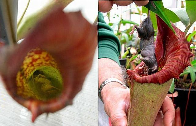New plant discovered in the Philippines is a giant rat-eating plant! (44 pics)