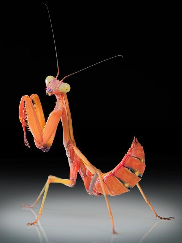 Mantis (15 pics)