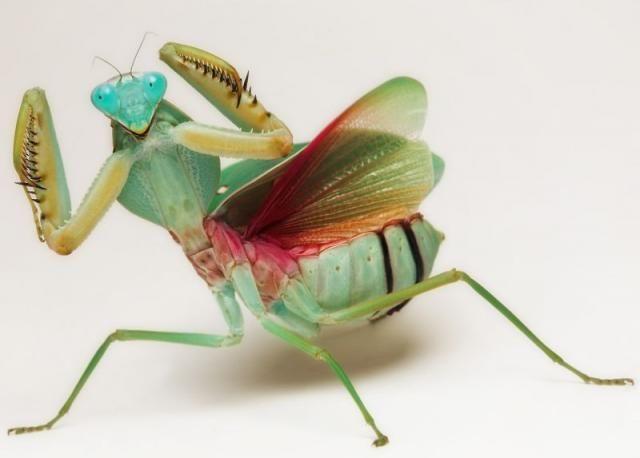 Praying Mantis Stock Photos And Images  123RF