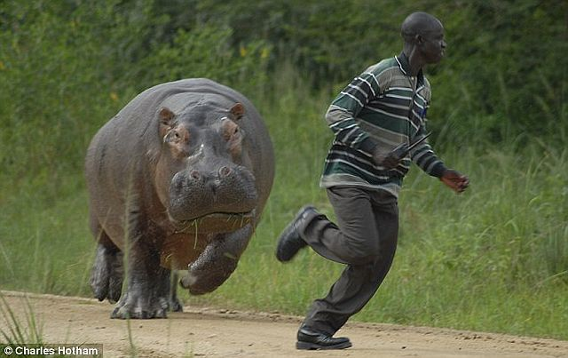Why you shouldn't bother hippos when they eat (4 pics)