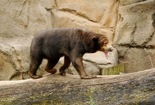 Bear with a long tongue (5 pics)