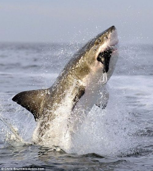 Incredible jump of a white shark (3 pics)