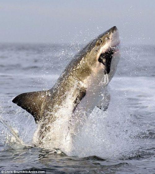 Incredible jump of a white shark (3 pics)
