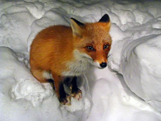 These funny foxes (20 pics)