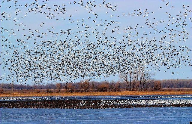 Flock of birds (8 pics)