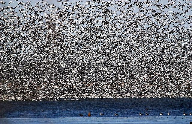 Flock of birds (8 pics)