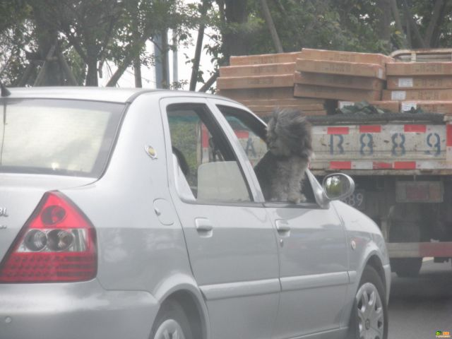 Doggy likes to look from a car's window (7 pics)