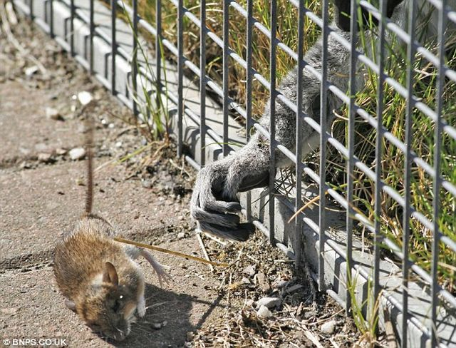 The loser of the day. A lemur with a short arm ;) (3 pics)