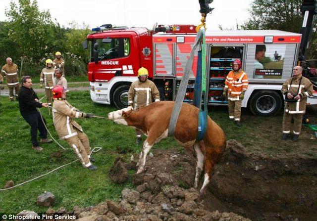 Saving a calf (4 pics)