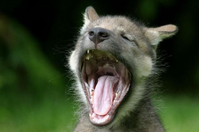 Animals with the mouth wide open (39 pics)