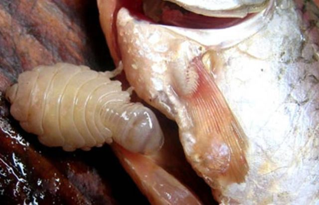 The Tongue Eating Louse is a gross parasite living in a fish's mouth! (18 pics)
