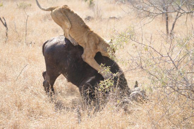 Hungry lioness attacks buffalo (26 pics)