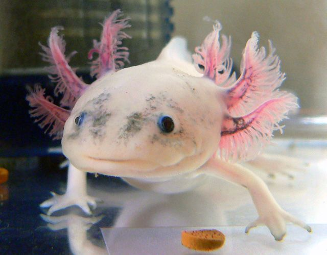 Axolotl, a  that is always smiling (47 pics)