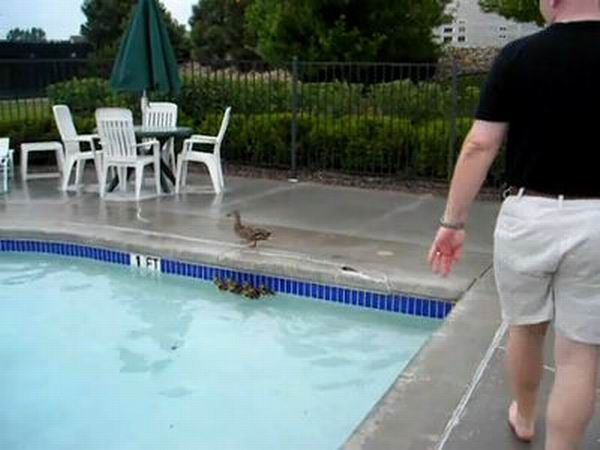 A little help for ducklings (6 pics)