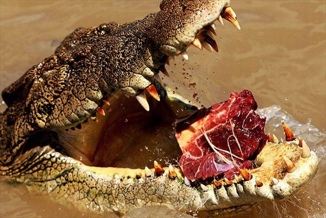 Crocodiles of Adelaide River (4 pics)