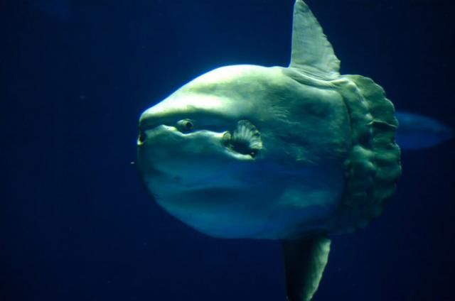 Ocean sunfish (15 pics)