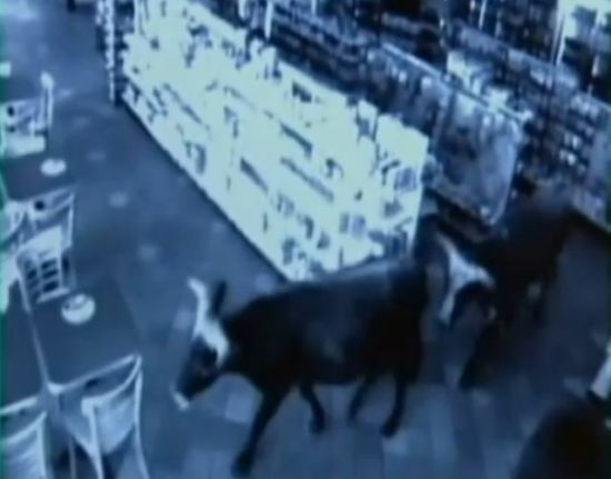 Shop turned into a cattle ranch as a cowboy is moving fugitive cows out! (18 pics)