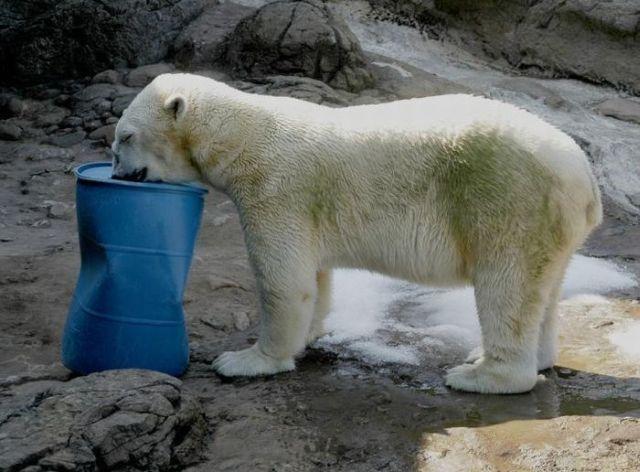 These funny polar bears (21 pics)