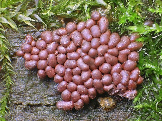 Stunning slime mold (74 pics + 1 gif)
