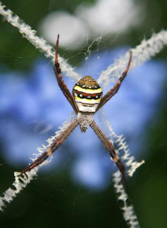 Spiders decorating their own webs (12 pics)